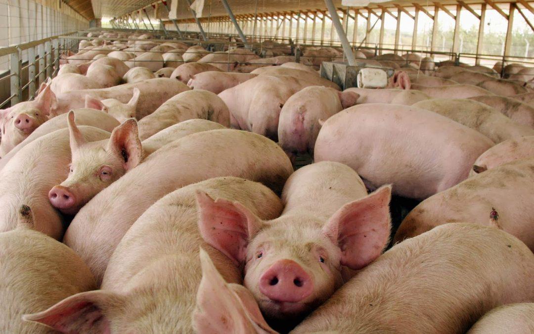 Mercado porcino: buenas perspectivas y China como nuevo horizonte de exportación