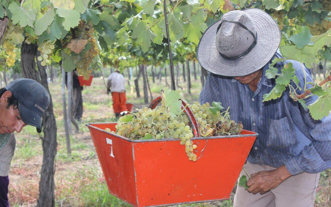 Preocupa la vendimia en Mendoza