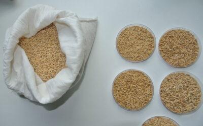 Crean una herramienta para la verificación de cultivares de arrozINASE junto al INTA y empresas privadas